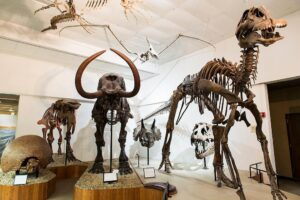 Replicas of prehistoric animal skeletons --including a mastodon, at left, and duck-billed dinosaur, at right -- are on display in the vertebrate room at the University of Wisconsin-Madison Geology Museum on May 14, 2015. (Photo by Jeff Miller/UW-Madison)